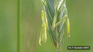 Trawy (Poaceae)