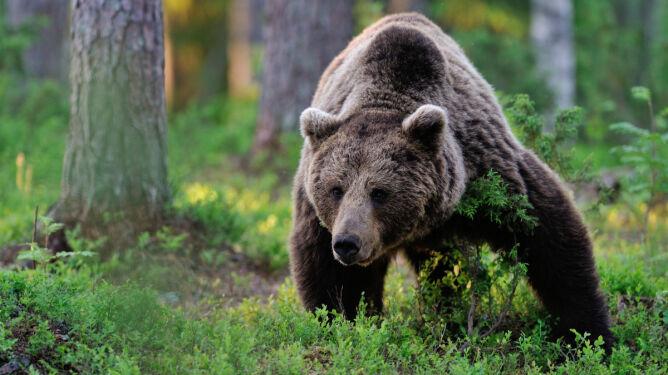 Przycinają drzewka owocowe dla niedźwiedzi
