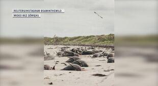 Niemal sto waleni i delfinów utknęło na mieliźnie